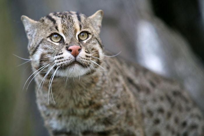 800px-Fishing_Cat_(Prionailurus_viverrinus)_3